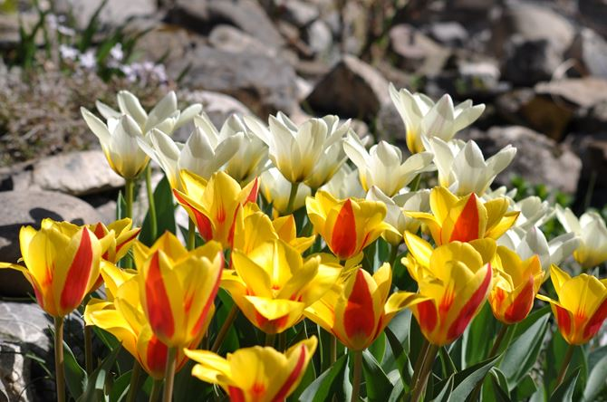 tulips-3556545_1920.jpg